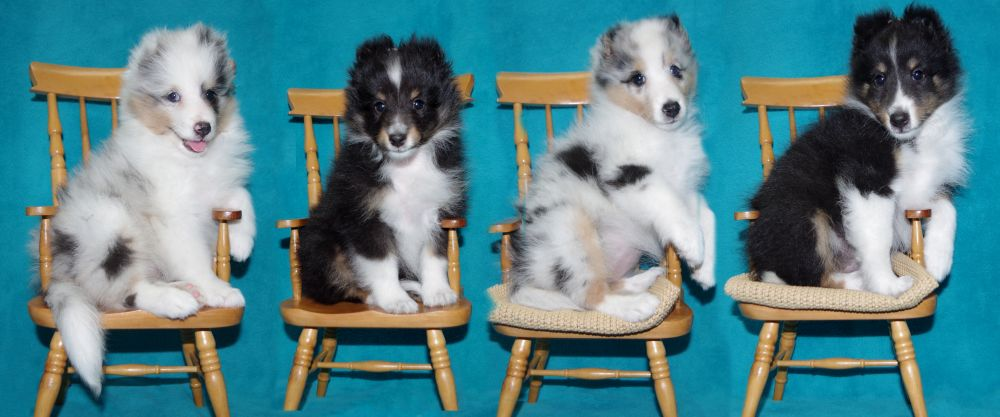 Dazzle and Tavish pups 8 weeks
